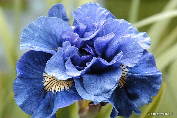 """Iris sibirica """"Concord Crush"""", kosaciec syberyjski"""
