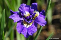 "Iris sibirica ""Double Standards"""