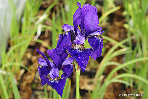 "Iris sibirica ""Kundel"", kosaciec syberyjski"