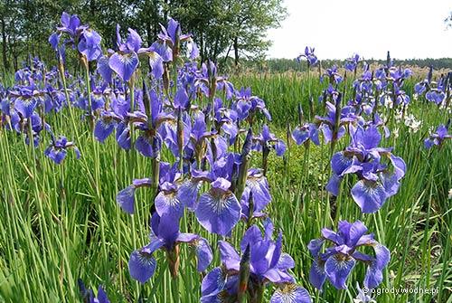 """Iris sibirica """"Perry's Blue"""", kosaciec syberyjski"""