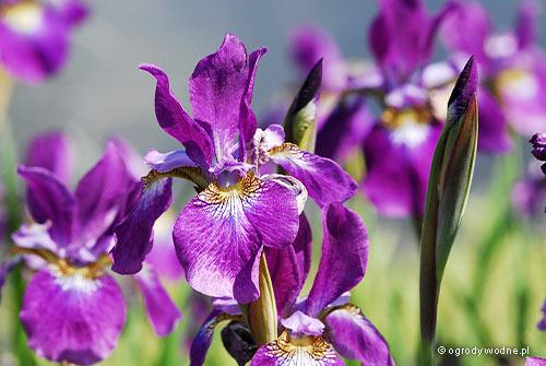 "Iris sibirica ""Red Flare"", kosaciec syberyjski"
