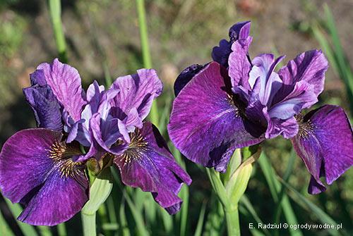 "Iris sibirica ""Roaring Jelly"", kosaciec syberyjski"