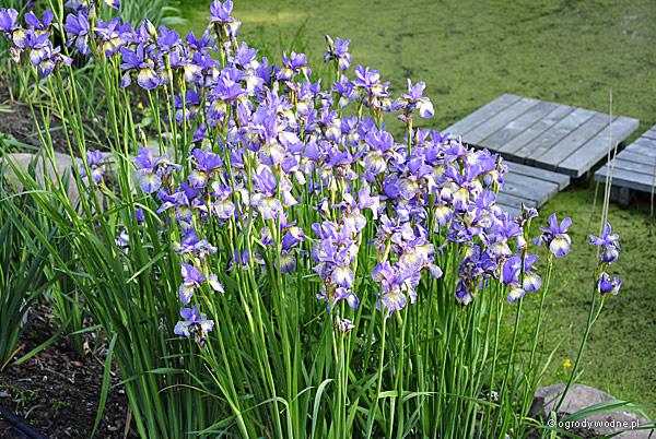 """Iris sibirica """"Shaker's Prayer"""", kosaciec syberyjski"""