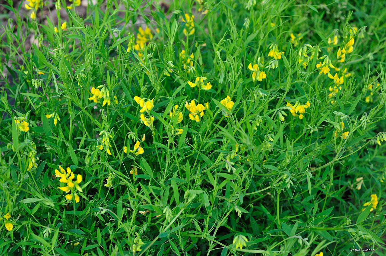 Lathyrus pratensis- groszek żółty