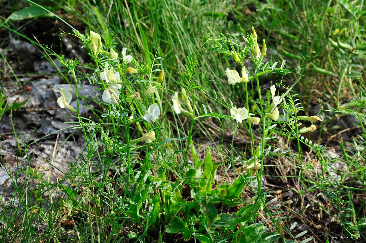 Lathyrus pratensis - groszek żółty