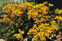 "Ligularia dentata ""Midnight Lady"""