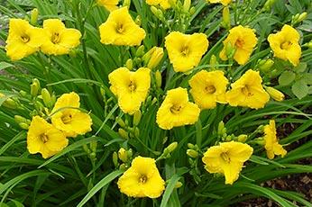 liliowce, rośliny ozdobne, hemerocallis