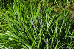 "Liriope muscari ""Big Blue"""