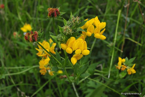 Lotus uliginosus, komonica błotna