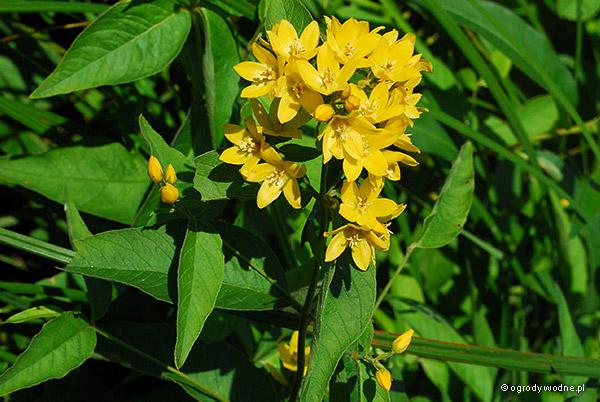 Lysimachia vulgaris, tojeść pospolita