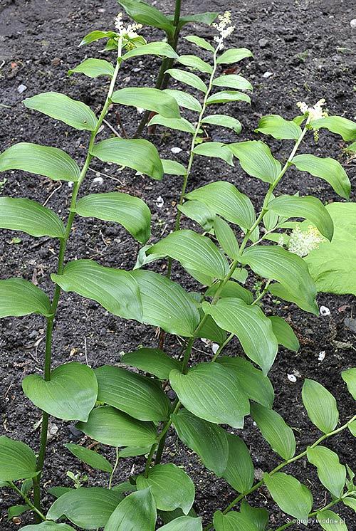 Maianthemum racemosum, majówka groniasta