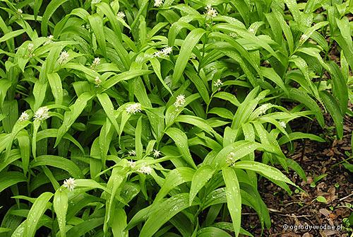 Maianthemum stellatum, majówka gwiazdkowata