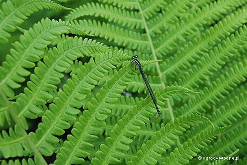 Matteucia struthiopteris, pióropusznik strusi