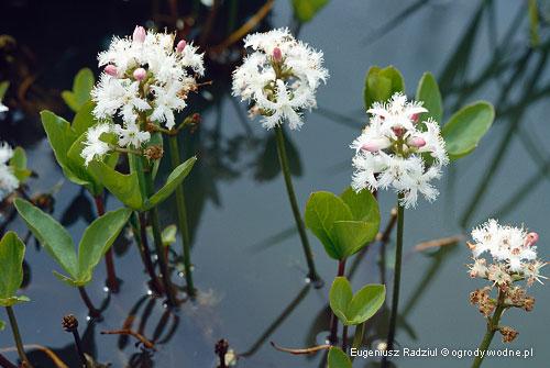 Menyanthes trifoliata, bobrek trójlistkowy