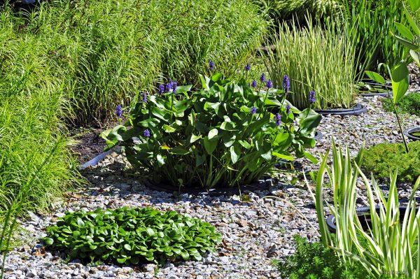 Pontederia dobrze czuje się w mini sadzawce dzięki dostatkowi wody i obfitemu nawożeniu.