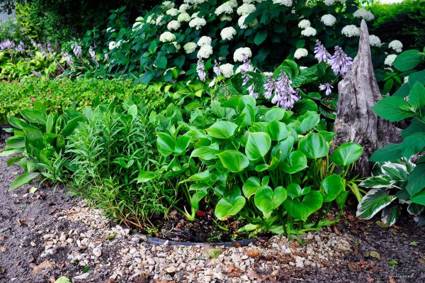 """Mini ogród bagienny - stosowanie pojemników typu """"mini sadzawka"""" pozwala na uprawianie roślin o specyficznych wymogach co do wilgotności, kwasowości gleby itp. Tutaj wśród """"zwykłych"""" roślin mogła zaistnieć czermień błotna i tojeść bukietowa."""