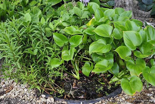 Sadzawka z roślinami nie zakorzenionymi w podłożu