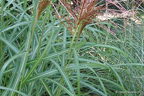 "Miscanthus sinensis ""Rotsilber"", miskant chiński"