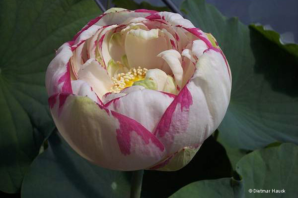 """Lotos """"Empress"""" - pierwsze dni kwitnienia"""