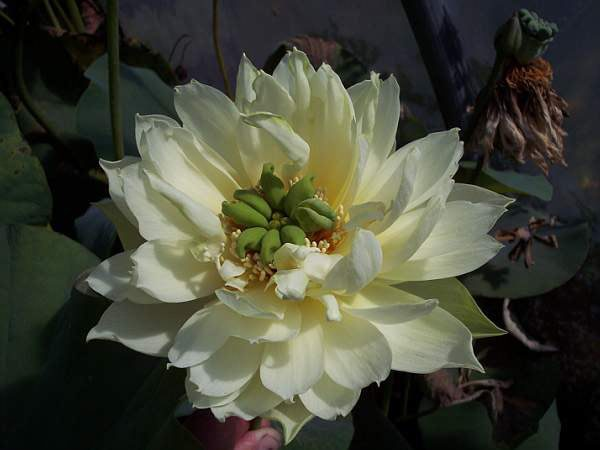 "Nelumbo ""Crystal Beauty"" - Lotos"