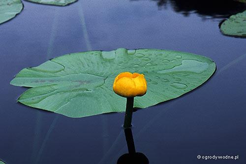 Nuphar lutea, grążel żółty