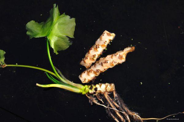 Kłącza (także z podwodnymi liśćmi) unoszące się na powierzchni wody.