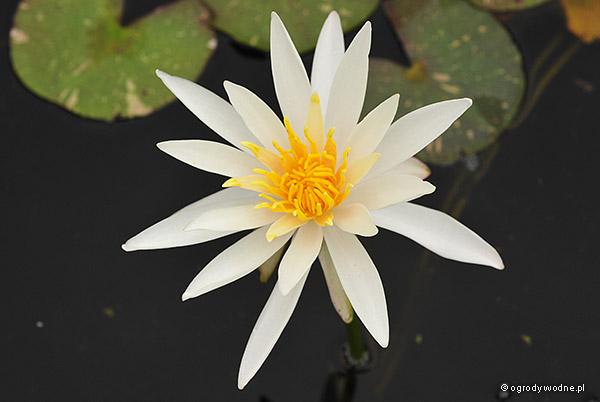 "Nymphaea ""Arc-en-Ciel"", lilia wodna, grzybień"