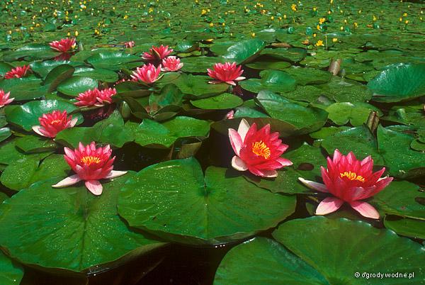 """Nymphaea """"Attraction"""", lilia wodna, grzybień"""