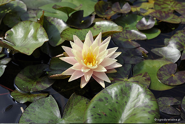 """Nymphaea """"Barbara Dobbins"""", lilia wodna, grzybień"""