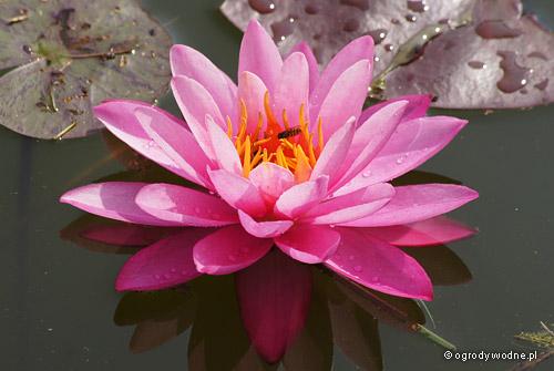 """Nymphaea """"Bernice Ikins"""", lilia wodna, grzybień"""