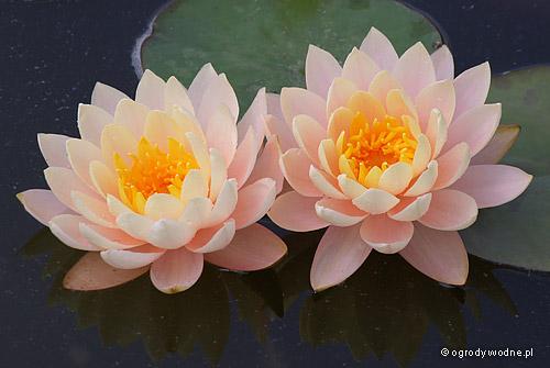 """Nymphaea """"Clyde Ikins"""", lilia wodna, grzybień"""