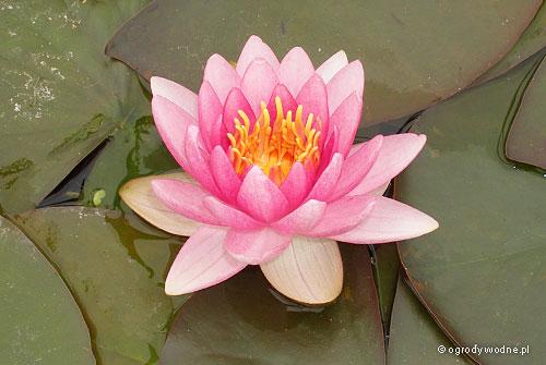 """Nymphaea """"Conqueror"""", lilia wodna, grzybień"""