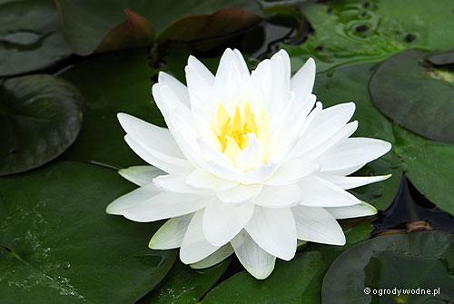"""Nymphaea """"Gonnere"""", lilia wodna, grzybień"""