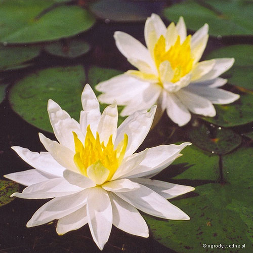 """Nymphaea """"Hal Miller"""", lilia wodna, grzybień"""