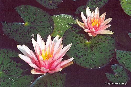 "Nymphaea ""Little Sue"", lilia wodna, grzybień"