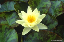 "Nymphaea ""Marliacea Chromatella"""