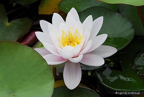 Nymphaea 'Marliacea Rosea' - Lilia wodna
