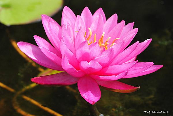 """Nymphaea """"Mayla"""", lilia wodna, grzybień"""