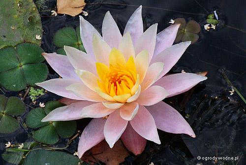 """Nymphaea """"Peace Lily"""", lilia wodna, grzybień"""