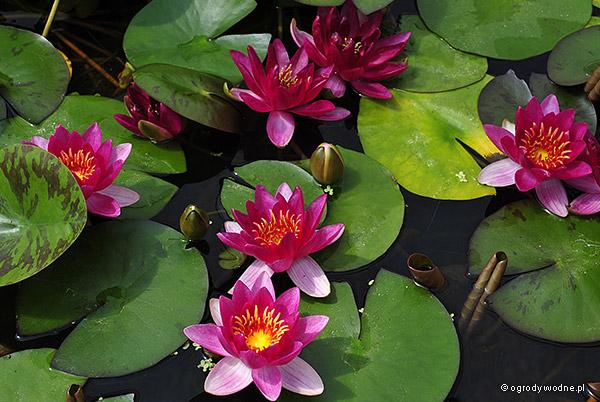 """Nymphaea """"Perry's Baby Red"""", lilia wodna, grzybień"""