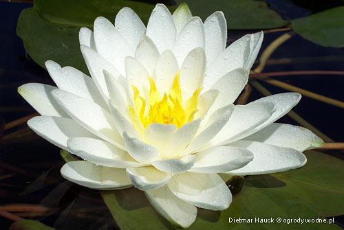 """Nymphaea """"Perry's Double White"""", lilia wodna, grzybień"""