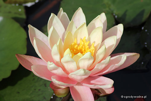 "Nymphaea ""Perry's Orange Sunset"", lilia wodna, grzybień"