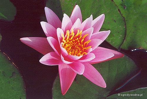 """Nymphaea """"Pink Sensation"""", lilia wodna, grzybień"""