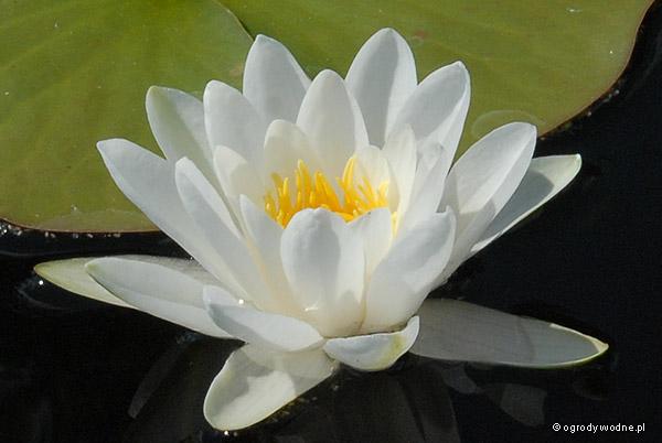 """Nymphaea """"Pygmaea Alba"""", lilia wodna, grzybień"""