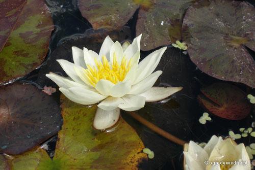 """Nymphaea """"Pygmaea Helvola"""", lilia wodna, grzybień"""