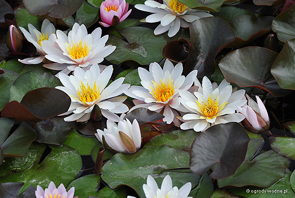 """Nymphaea """"Rosennymphe"""", lilia wodna, grzybień"""