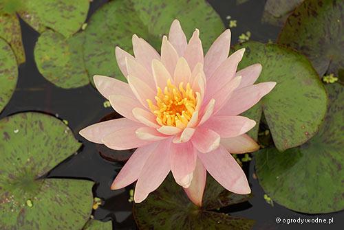 """Nymphaea """"Sunny Pink"""", lilia wodna, grzybień"""