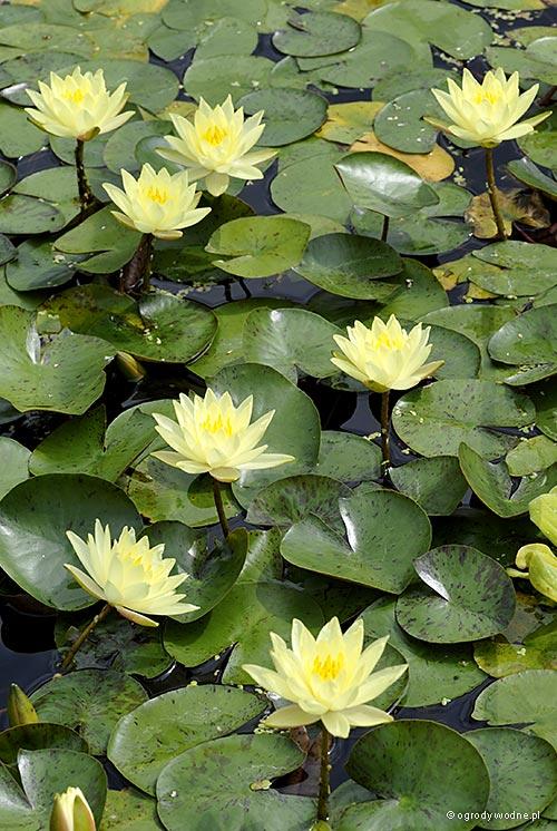 """Nymphaea """"Texas Dawn"""", lilia wodna, grzybień"""