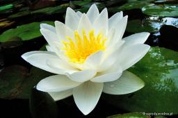 "Nymphaea ""White Sultan"""