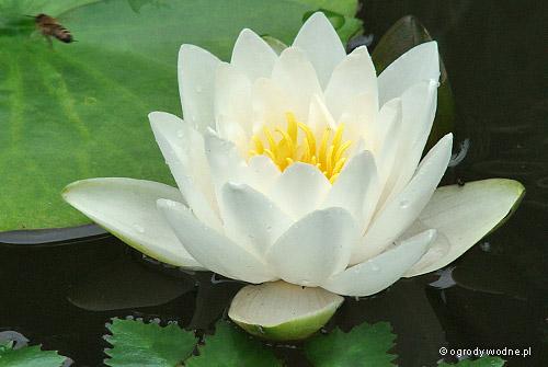 """Nymphaea """"White Sultan"""", lilia wodna, grzybień"""
